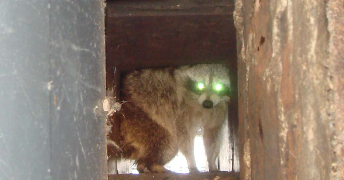 Angry Raccoon in Chimney