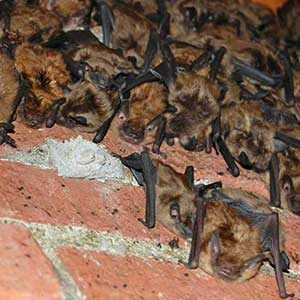 Bats in the Chimney