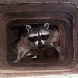 Chimney Raccoons